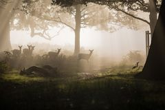 Herten in het Hout Stock Afbeelding