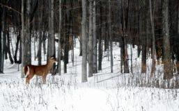 Herten in het Hout Stock Foto