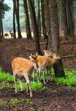 Herten in het hout Stock Foto's