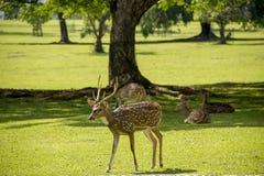 Herten in het park Stock Afbeeldingen