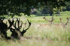 Herten in het Park van Richmond Royalty-vrije Stock Afbeelding