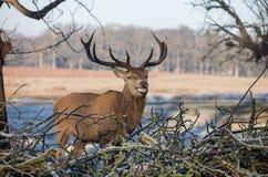 Herten in het Park van Richmond Royalty-vrije Stock Foto's