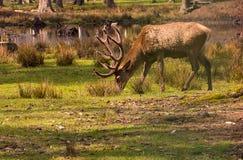 Herten met vertakte nieuwe hoornen die voedsel op een groen gebied in zonlicht zoeken Stock Foto's