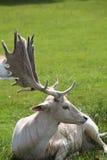 Herten met vlieg op neus Royalty-vrije Stock Foto