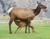 Herten met zijn baby stock foto