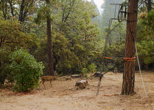 Herten met zwarte staart Stock Foto's