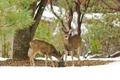 Herten met zwarte staart in de sneeuw Royalty-vrije Stock Fotografie