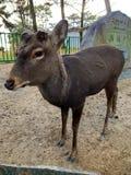Herten in Nara, Japan stock afbeeldingen
