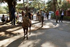Herten in Nara Park royalty-vrije stock fotografie