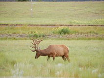 Herten in Nationaal Park Royalty-vrije Stock Afbeeldingen