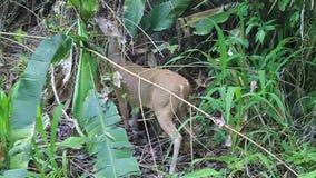 Herten in Nationaal Park Manuel Antonio stock video