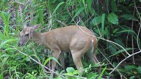 Herten in Nationaal Park Manuel Antonio stock footage