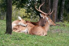 Herten onbeweeglijk Royalty-vrije Stock Afbeeldingen