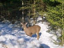 Herten op de sneeuw Royalty-vrije Stock Foto's