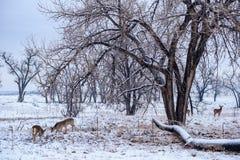 Herten op een Sneeuwochtend Wilde Herten op de Hoge Vlaktes van Colorado royalty-vrije stock foto's