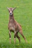 Herten op gras Stock Afbeeldingen