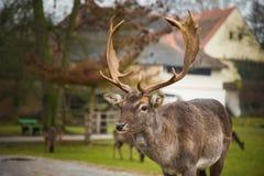 Herten op grondgebied van middeleeuws kasteel Blatna in Tsjechische Republiek Royalty-vrije Stock Foto