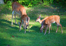 Herten op het gazon Royalty-vrije Stock Fotografie