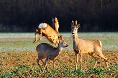 Herten op het gebied Royalty-vrije Stock Foto