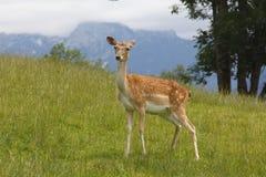 Herten op het gras Stock Afbeeldingen