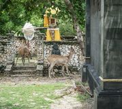 Herten op Menjangan-Eiland royalty-vrije stock fotografie