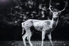 Herten in parkland royalty-vrije stock foto's