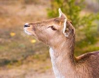 Herten potrait, dierlijk gezichtsportret Stock Foto's