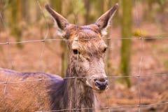 Herten potrait, dierlijk gezichtsportret Stock Foto