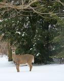 Herten in sneeuw royalty-vrije stock foto