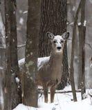 Herten in sneeuw Royalty-vrije Stock Afbeeldingen