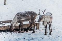 Herten in sneeuw royalty-vrije stock fotografie
