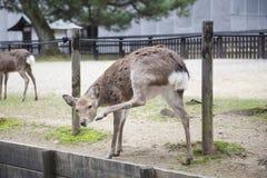 Herten in tuinpark Royalty-vrije Stock Foto's