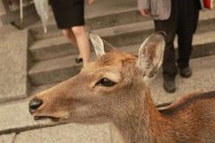 Herten vertrouwd aan mensen in Todai -todai-ji tempel, Nara, Japan stock afbeelding
