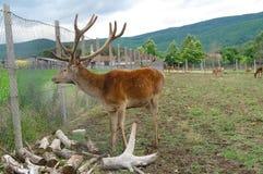 Herten Wilde dieren in gevangenschap royalty-vrije stock foto