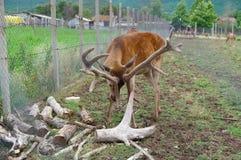Herten Wilde dieren in gevangenschap royalty-vrije stock afbeelding