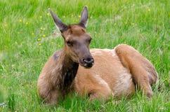 Herten in Yellowstone Royalty-vrije Stock Foto's