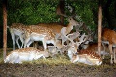 Hertenfamilie royalty-vrije stock afbeelding