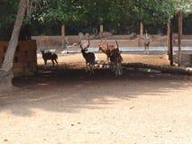 Hertengroep bij tuin van dierentuin Stock Foto