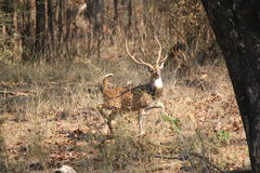Hertenmannetje die een alarm klinken bij het Nationale Park van Bandhavgarh, India stock foto
