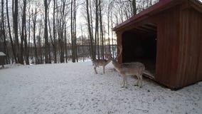 Hertenstrijd tijdens de winter stock videobeelden