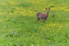 Hertevlees die in het gras en eatin rondwandelen royalty-vrije stock afbeeldingen