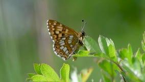 Hertog van de fritillary die vlinder van Bourgondië op vegetatie wordt neergestreken stock videobeelden