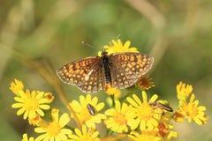 Hertog van de vlinder van Bourgondië royalty-vrije stock foto