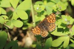 Hertog van de vlinder van Bourgondi? royalty-vrije stock fotografie