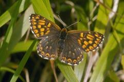 Hertog van de vlinder van Bourgondië Fritillary royalty-vrije stock afbeelding