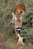 Herumstreichender Tiger Lizenzfreie Stockfotos