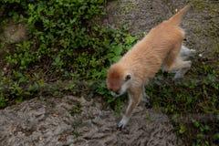 Herumsuchen-Patas Affeerythrocebus patas Lizenzfreies Stockfoto