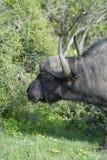 Herumsuchender Kap-Büffel, Addo Elephant National Park Lizenzfreie Stockfotografie