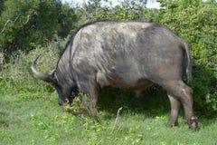 Herumsuchender Kap-Büffel, Addo Elephant National Park Lizenzfreie Stockbilder