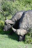 Herumsuchender Kap-Büffel, Addo Elephant National Park Lizenzfreie Stockfotos
